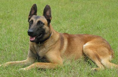 Malamar Dog For Sale